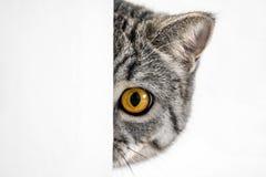 den brittiska katten eyes orangen arkivbild