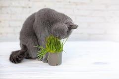 Den brittiska Shorthair katten äter han användbart vitamin-rikt gräs i en kruka från ett husdjur shoppar royaltyfria bilder