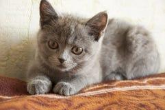 Den brittiska Shorthair katten lägger på baden och ser framåtriktat Arkivbild