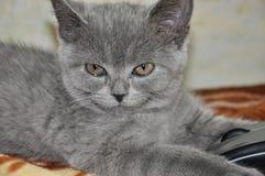 Den brittiska Shorthair katten lägger på baden och ser framåtriktat Arkivfoto