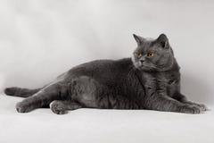 Den brittiska Shorthair katten med guling synar att ligga på en grå backgroun Royaltyfri Bild