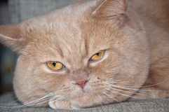 Den brittiska Shorthair katten på soffan Arkivbilder