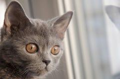 Den brittiska Shorthair katten ser framåtriktat på fönstret Reflexion Royaltyfri Fotografi