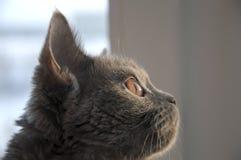 Den brittiska Shorthair katten ser i fönstret på solnedgången Royaltyfria Bilder