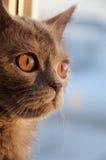 Den brittiska Shorthair katten ser i fönstret på solnedgången Arkivfoto