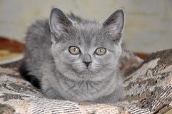 Den brittiska Shorthair katten sitter på baden och ser framåtriktat Arkivfoto