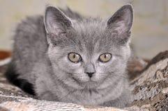 Den brittiska Shorthair katten sitter på baden och ser framåtriktat Royaltyfri Foto