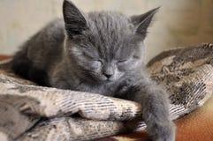 Den brittiska Shorthair katten sover på baden Arkivfoton