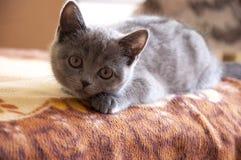 Den brittiska Shorthair katten spelar på baden och ser framåtriktat Royaltyfri Fotografi