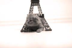 Den brittiska Shorthair kattungen och Eiffel turnerar Royaltyfri Fotografi