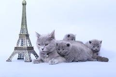 Den brittiska Shorthair kattungen och Eiffel turnerar Arkivfoton