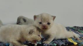 Den brittiska Shorthair kattungen som jamar på en traditionell blått, mattar arkivfilmer