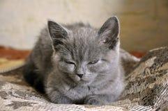 Den brittiska Shorthair kattungen sover på baden Fotografering för Bildbyråer
