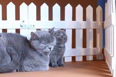 Den brittiska Shorthair moderkatten kramar hennes kattunge nära ett vitt staket på bakgrund royaltyfri foto