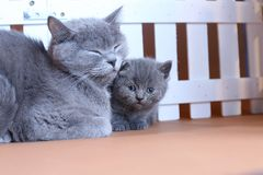 Den brittiska Shorthair moderkatten kramar hennes kattunge nära ett vitt staket på bakgrund royaltyfria bilder