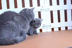Den brittiska Shorthair moderkatten kramar hennes kattunge nära ett vitt staket på bakgrund royaltyfri fotografi