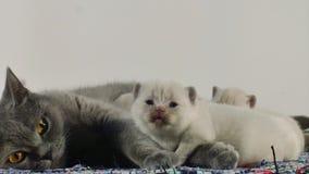 Den brittiska Shorthair modern och kattungar som sitter på en traditionell blått, mattar stock video