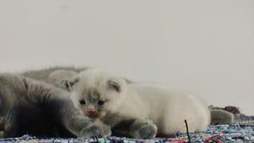 Den brittiska Shorthair modern och kattungar som sitter på en traditionell blått, mattar lager videofilmer