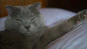 Den brittiska shorthairkatten med guling synar att ligga på sängen arkivfilmer