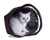 Den brittiska shorthairkattungen kikar ut ur korgen Färgsilver s Fotografering för Bildbyråer