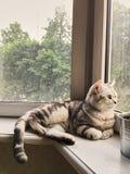 Den brittiska strimmig kattkatten ligger och ser ut fönstret varm och enkel komfort grå, vit, strimmig kattkatt och gröna ögon fotografering för bildbyråer