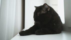 Den brittiska svarta katten ligger på en vit fönsterbräda lager videofilmer