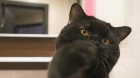 Den brittiska svarta katten med apelsinögon jagar dess tafsar för kameran arkivfilmer