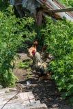 Den brokiga tuppen och hönor går i gården, byliv, Altai, Ryssland royaltyfria foton