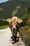 Den Brown österrikare mjölkar kon arkivfoto