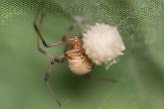 Den bruna änkaspindeln gör säcken för dess ägg fotografering för bildbyråer