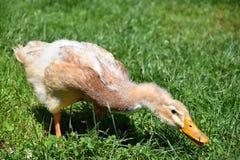 Den bruna anden äter gräs på lantgården Arkivfoto