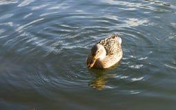 Den bruna anden som svävar på vatten Royaltyfria Bilder