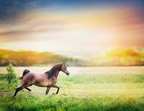Den bruna arabiska hästen kör på sommarfält på solnedgången Arkivfoto
