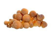 Den bruna bokträdet plocka svamp, den Shimeji champinjonen, ätlig champinjon Royaltyfria Foton