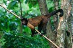 Den bruna capuchinen sitter på en filial Royaltyfri Foto