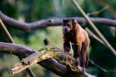 Den bruna capuchinen sitter på en filial Royaltyfria Bilder