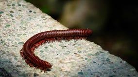 Den bruna centipiden går på en vägg Royaltyfri Fotografi