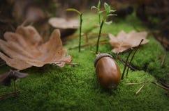 Den bruna ekollonen ligger på en lös grön kudde av mossa nära ett brunt blad royaltyfri fotografi