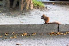 Den bruna ekorren i höst parkerar Arkivfoto
