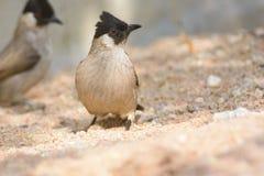 Den bruna fågeln, den svarta head ställningen och söker efter vännen Royaltyfri Foto