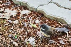 Den bruna fågeln står på jordningen Royaltyfri Bild