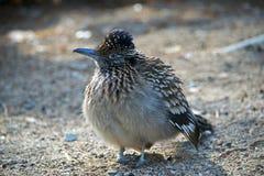 Den bruna fluffiga fågeln med vit spots anseende på jordningen royaltyfri fotografi