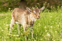 Den bruna geten med horn betar på i sommar royaltyfria bilder