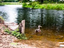 Den bruna gräsandet stänger sig bakifrån upp yttersida på floden Arkivfoton