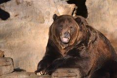 Den bruna grisslybjörnen vrålar på en vagga på skymning Arkivbilder