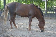 Den bruna hästen är i paddocken Arkivfoto