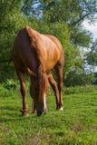 Den bruna hästen äter gräs Royaltyfria Foton