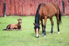 Den bruna hästen äter gräs nära det gamla trästaketet med fölet Royaltyfria Bilder