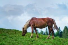 Den bruna hästen betas på en äng på våren royaltyfri bild