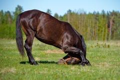Den bruna hästen bugar ner Arkivfoton